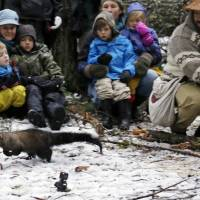Rare weasel returns to Rainier park after 70-year absence