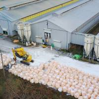 Chickens are culled Wednesday at a poultry farm in Sekikawa, Niigata Prefecture, where bird flu was detected. | KYODO