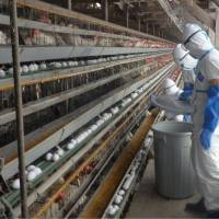 Chicken industry, crested ibis under bird flu siege in Niigata