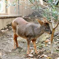 A pudu, the world's smallest species of deer, is seen in its enclosure at Saitama Children's Zoo in Higashimatsuyama, Saitama Prefecture, on Sunday. | KYODO