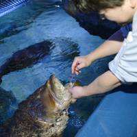 Nagoya aquarium discovers a grouper that likes to have its teeth brushed
