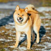 The Japanese government had planned to present Vladimir Putin, widely known to be a dog lover, with a male Akita. | ISTOCK