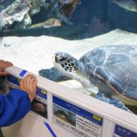 A green turtle saved from a fishing net proves popular with visitors at the Sanin Kaigan Geopark Museum of the Earth and Sea in Iwami, Tottori Prefecture, on Dec. 6. | KYODO