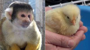 [VIDEO] Monkey and chickens in Tokyo for the new Chinese calendar