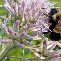 U.S. lists rusty patched bumblebee as endangered species to chagrin of regulatory foes