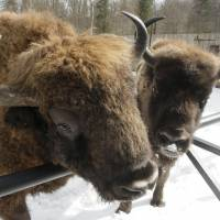 Environmentalists slam Poland plan to hunt bison