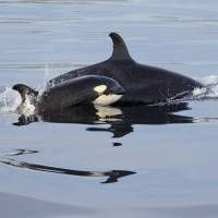 Mother-daughter competition in orcas may explain menopause
