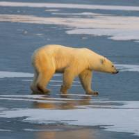 Unlucky polar bears beset by toxins too, study says