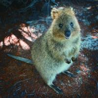 Western Australia police make appeal to find lost 'cute and furry' quokka