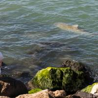 People warned as sharks gather in warm waters off Israeli electricity plant