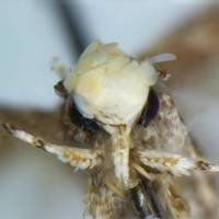 Golden-headed moth species named for Trump