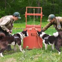 Karuizawa tasks two dogs with 'shepherding' pesky bears away from civilization