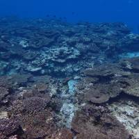 Coral bleaching is seen in the Sekiseishoko area between Ishigaki and Iriomote islands in Okinawa Prefecture in November. | ENVIRONMENT MINISTRY'S ISHIGAKI RANGER OFFICE / VIA KYODO
