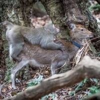 Oh deer: Monkey caught in flagrante delict-doe