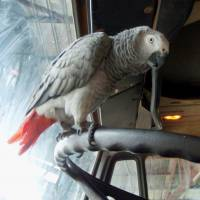 An international panel on trade in wildlife products has adopted a proposal to ban international trade in gray parrots, which are popular pets in many countries, including Japan. | TOMOAKI NISHIHARA / VIA KYODO