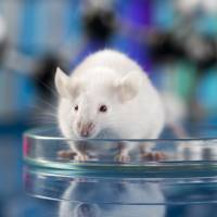 Mice with incurable eye disease recover with iPS transplant, study says