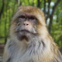 Monkeys can make strategic choices based on memory: Japanese research