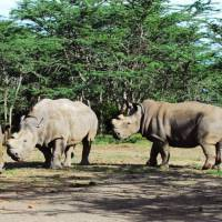 A Japanese scientist has teamed up with German researchers to try to save nearly extinct white rhinoceros, seen at a nature preserve in Kenya, by producing eggs from induced pluripotent stem (IPS) cells. | OL PEJATA CONSERVANCY / VIA KYODO