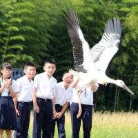 Japan's push to reintroduce endangered white storks into the wild pays dividends
