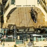 Australia disappointed by Japan's whale hunt in Southern Ocean