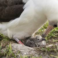 World's oldest known seabird hatches a new chick at Midway Atoll