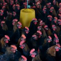 Chickens are seen at a poultry farm outside Hefei, China, in this file photo. | REUTERS