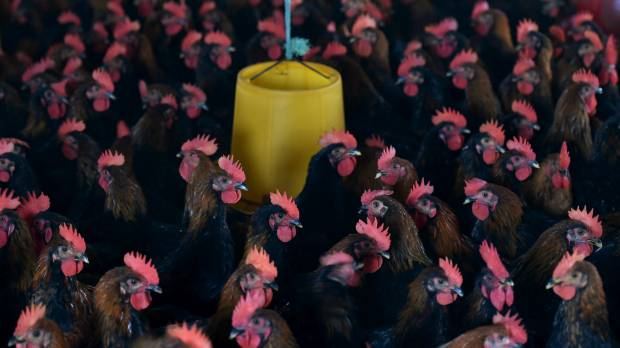 Hard to detect, deadly China bird flu virus may be more widespread