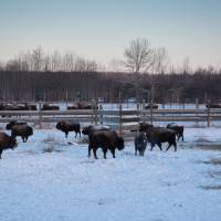 Bison return to Canada's oldest national park