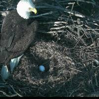 DC eagle pair lay season's first egg at National Arboretum