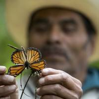 Storms, illegal logging decimate Mexico's migrating monarchs as butterflies now face Trump wall
