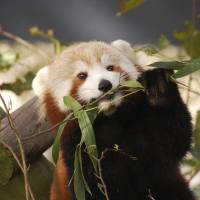 Sightings drop as Virginia zoo keeps searching for Sunny, the red panda