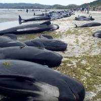 More than 400 whales become stranded on New Zealand beach; most die