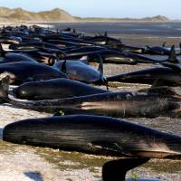 New Zealand clears carcasses as fears of exploding whales grow