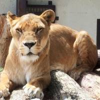Nana, a lion that attacked and seriously injured a zoo worker in Komoro, Nagano Prefecture, on Sunday, is shown in this handout photo provided by the Komoro Municipal Government. | KYODO