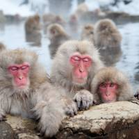 Japan zoo culls monkeys carrying 'invasive' genes