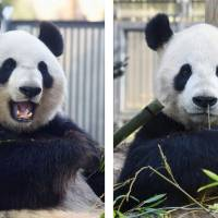 Ueno Zoo panda pair off-limits to public as female in heat