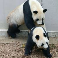 Giant pandas mated at Ueno Zoo in Tokyo on Monday after they were put in the same enclosure earlier in the day.   TOKYO ZOOLOGICAL PARK SOCIETY / VIA KYODO