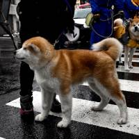 The Amekko-ichi festival in Odate, Akita Prefecture, features a parade hosted by the Akita Dog Preservation Society. | MANAMI OKAZAKI