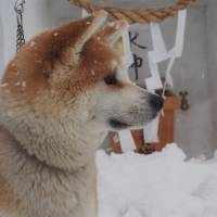 Akitas in Japan give a dog a good name