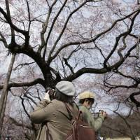Best parks for cherry-blossom viewing in Tokyo
