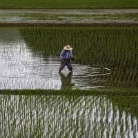 A farmer works in a rice field in Satsumasendai, Kagoshima Prefecture, on July 8, 2015. The Trump administration is likely to focus on the auto and agricultural sectors in an upcoming economic dialogue with Japan. | REUTERS
