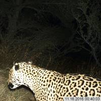 Rare jaguar sighted in mountains of Arizona