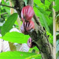 Cacao, the source of chocolate, is one of the species domesticated in the Amazon long ago. | CHUCK MORAVEC / CC BY 2.0