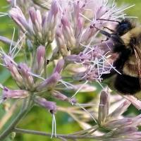 Rusty patched bumblebee first to go on U.S. endangered species list, after Trump delay