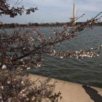 Cherry and other trees close to bloom are seen along the Tidal Basin on the National Mall on Monday in Washington. | AFP-JIJI