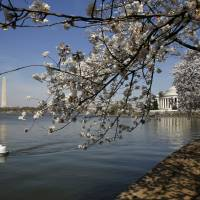 Cold weekend prompts National Park Service to push back Tidal Basin cherry blossom peak