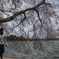 Late-winter snowstorm may damage Washington's cherry blossoms
