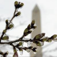 Cold weather kills many cherry blossom blooms in U.S. capital