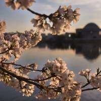 Mild winter may see D.C.'s cherry blossoms peak in two weeks