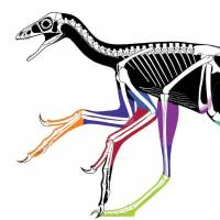 Laser-stimulated fluorescence images were used to make this reconstruction of the body outline of Anchiornis, the first accurate body outline of a bird-like dinosaur. Each color represents a different fossil specimen. Black areas are approximations. | REUTERS